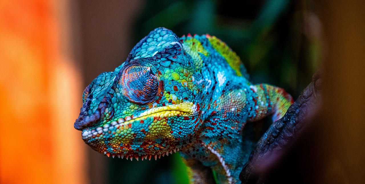 A Chameleon Isolated on Black